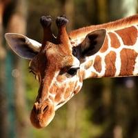 giraffe-2222908_1920-1